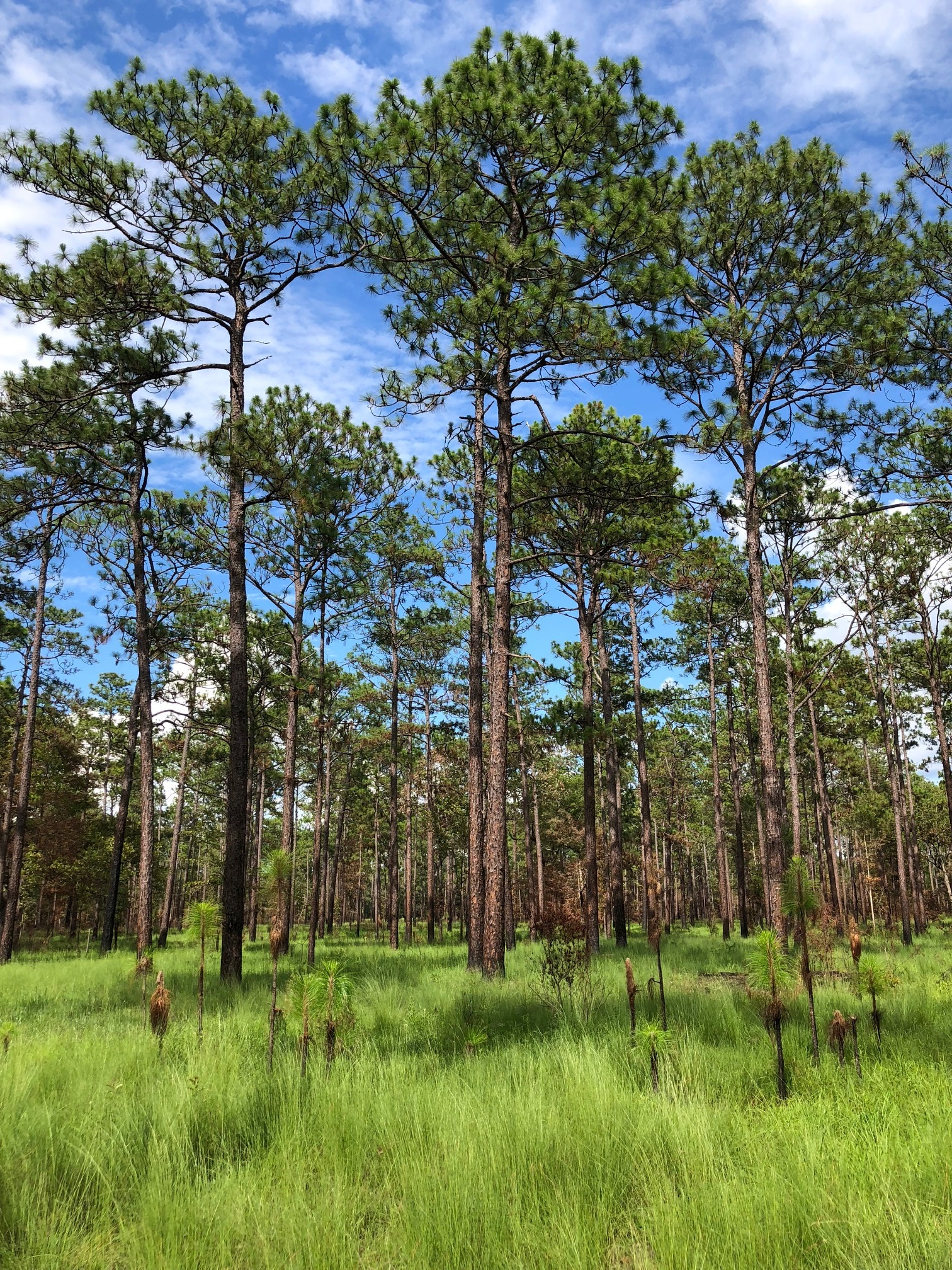 A longleaf ecosystem in Apalacheee Wildlife Management Area